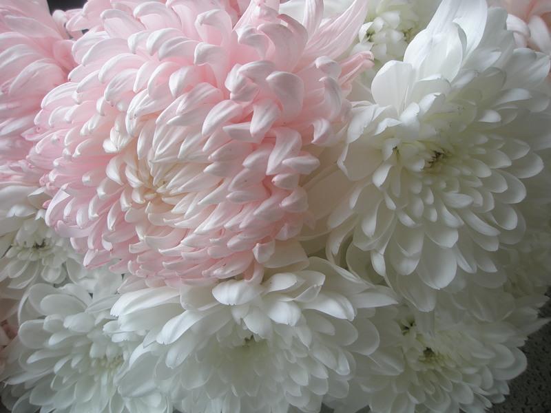Красивые цветы хризантемы картинки