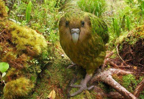 Какало(Соловьиный попугай).