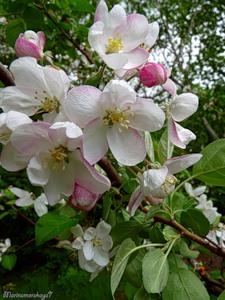 Яблоня цветёт...