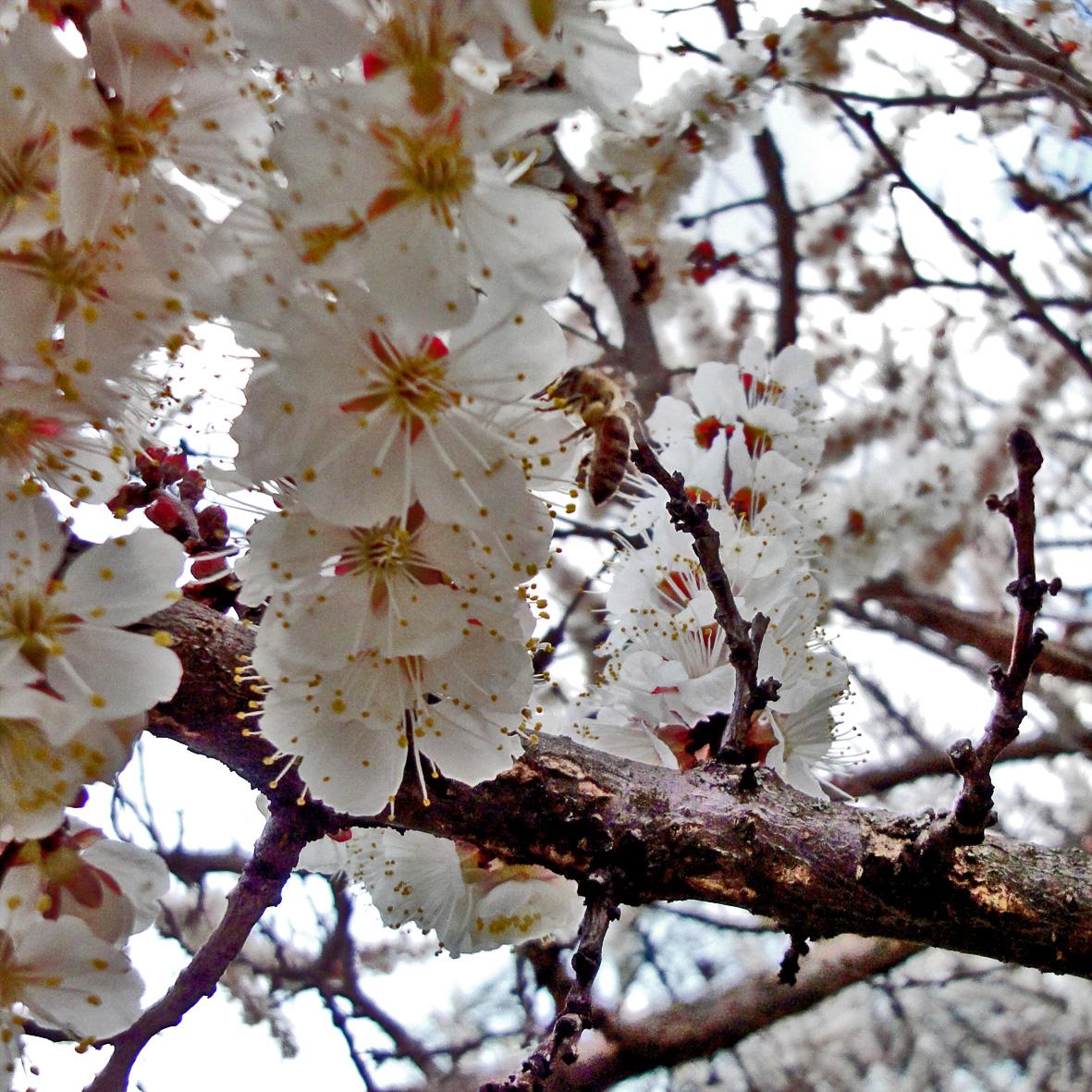 приняли картинки цветущих деревьев абрикос смотреть негативное