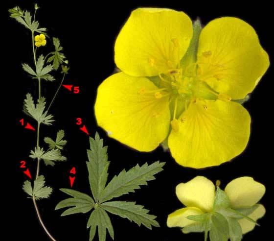 Лапчатка прямостоящая (корень - калган) трава и цветок