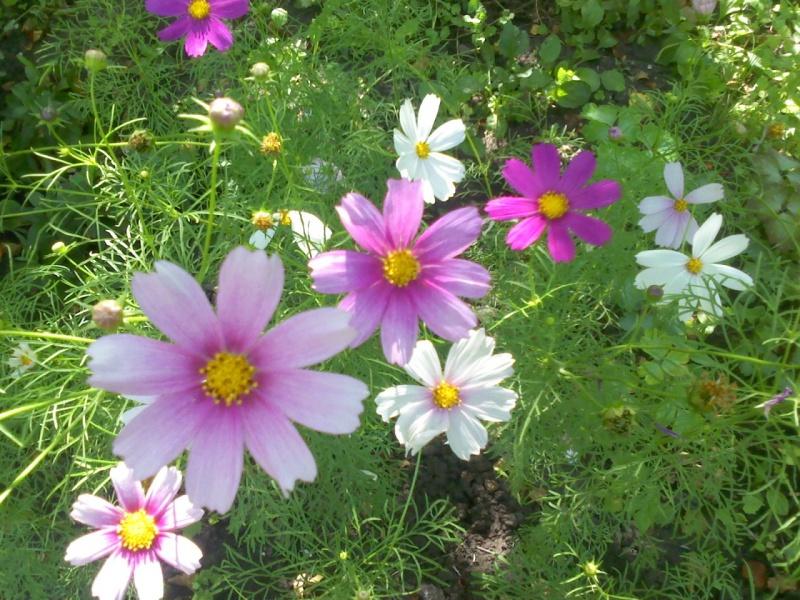 Камея цветок фото