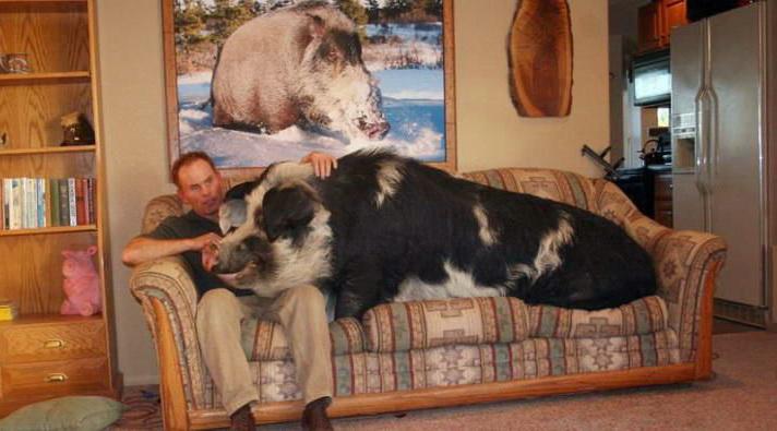 Секс с свиньи и кабаном фото 337-801