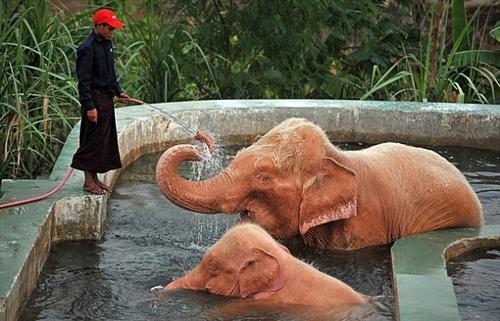 Купание розовых слонов