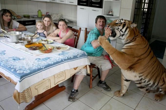 Тигр домашний питомец
