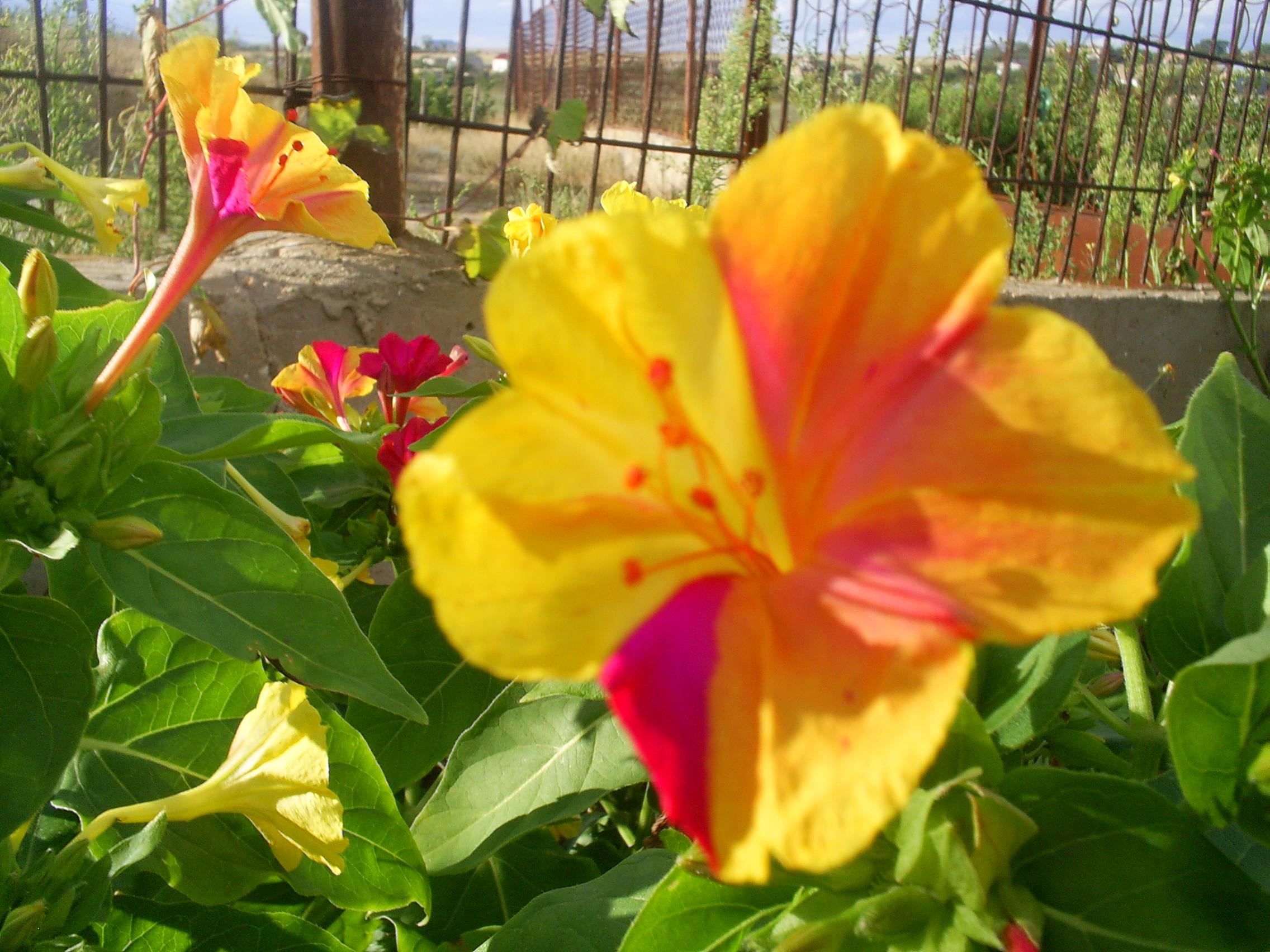 счастье цветок утренняя зорька фото плетеной