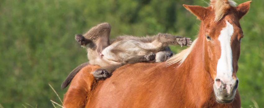 Картинка лошади и обезьяны