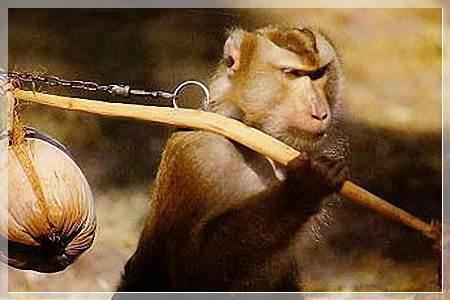 ловить обезьяну