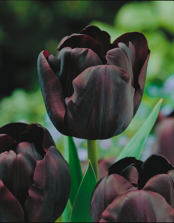 Чёрный тбльпан