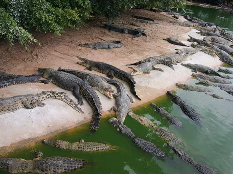смерть от крокодила