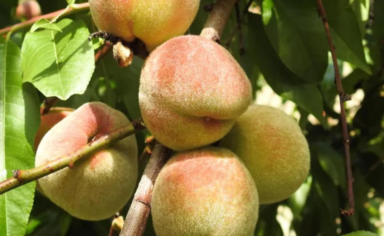 Винный персик