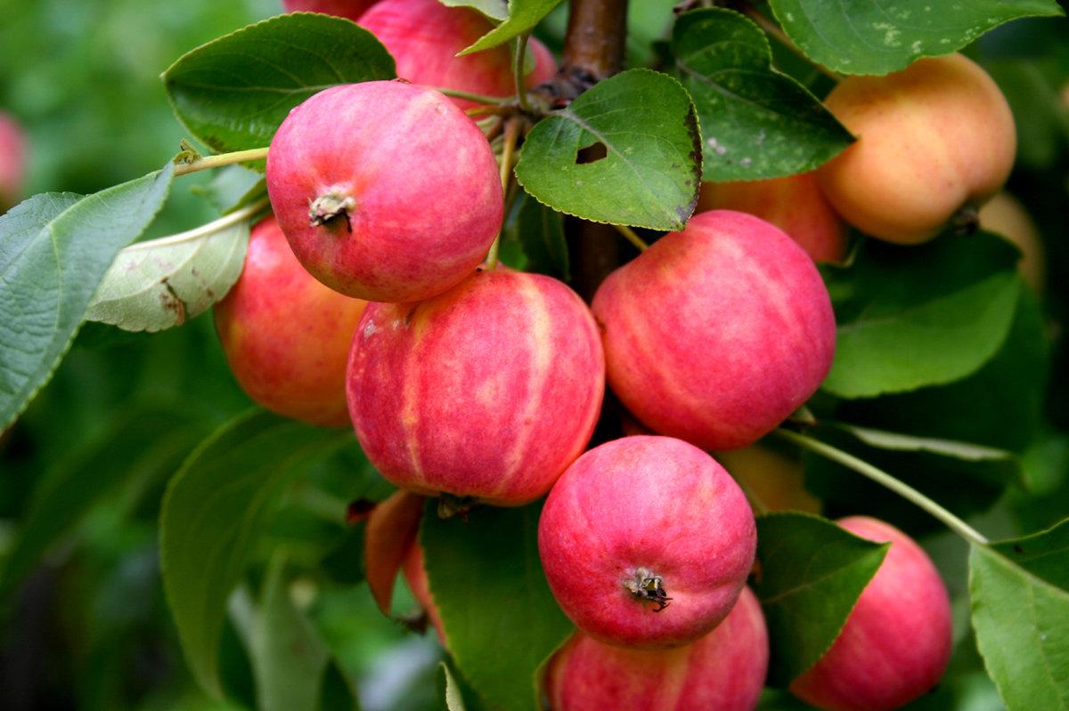 яблоки ранет фото давно
