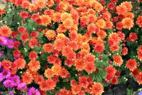 chrysanthemums_many_504753